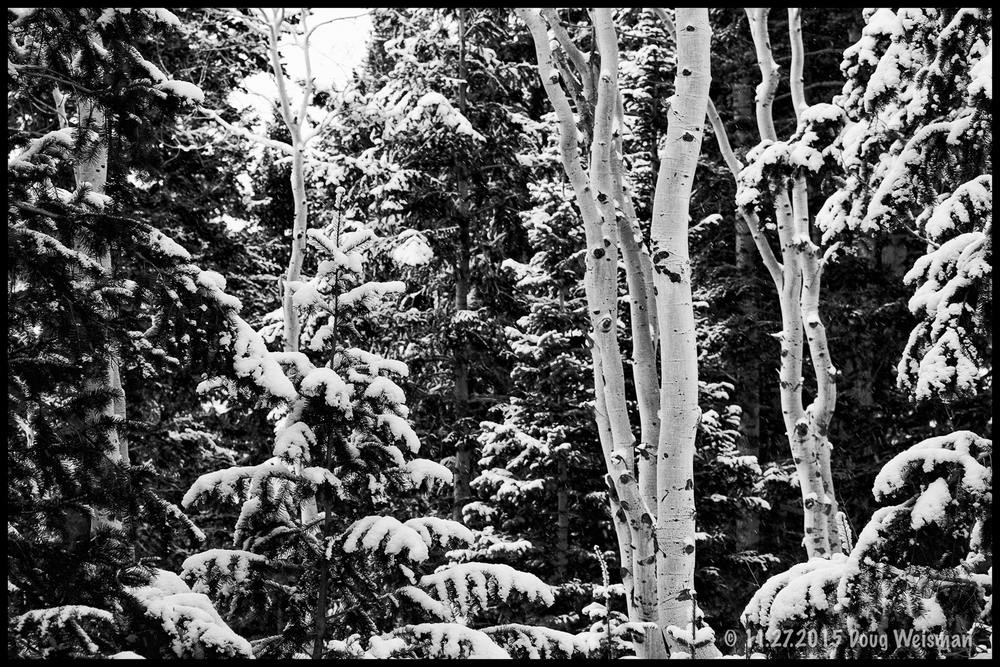 Aspens with fresh snow.