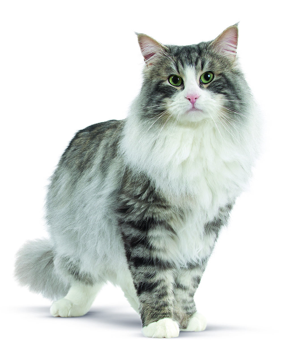 norwegian-forest-cat.jpg