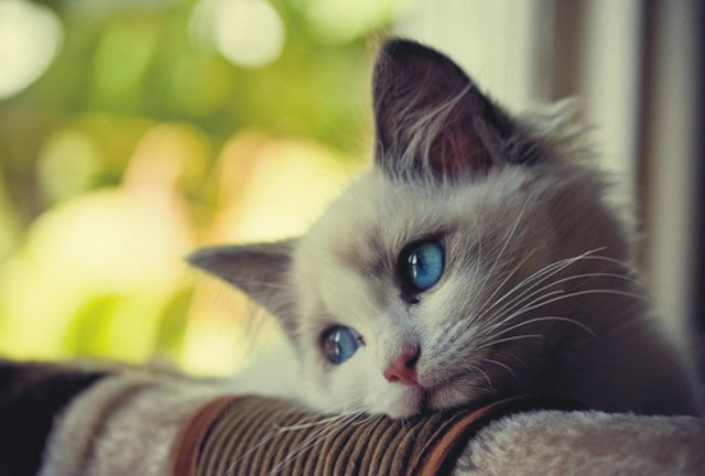 Sad-Cat-Wallpaper-640x432.jpg