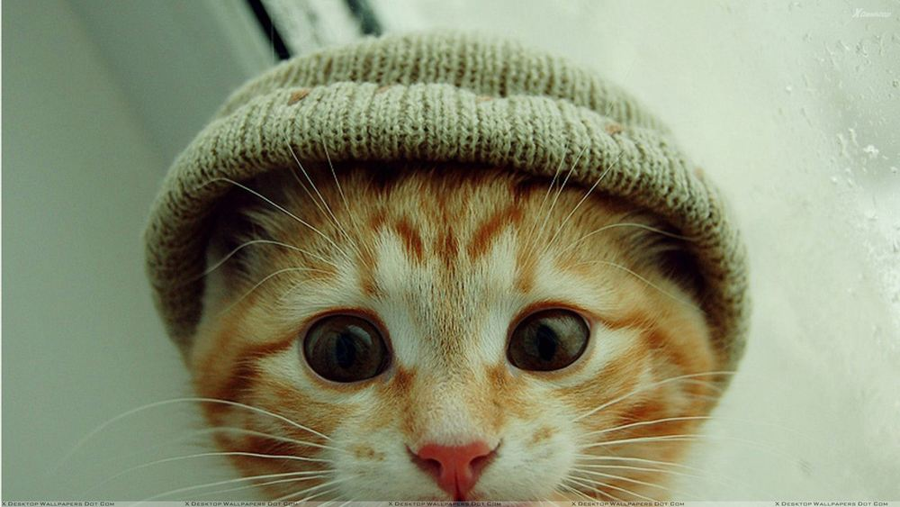 Small Cat Wearing A Cap.jpg