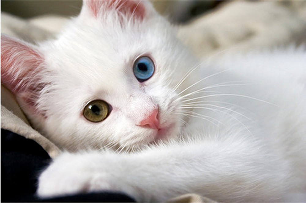 White-Cat-Hd-Wallpapers-Free-Download-12.jpg