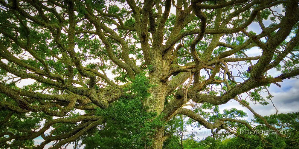 """Brain Tree"" - San Juan Island, WA"