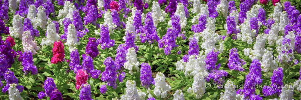 """Puffs"" - Buchart Gardens, BC, Canada"