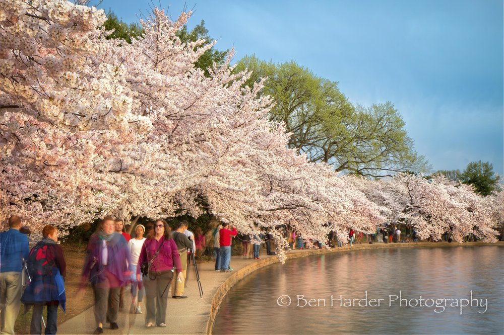 Water Basin during Cherry Blossoms