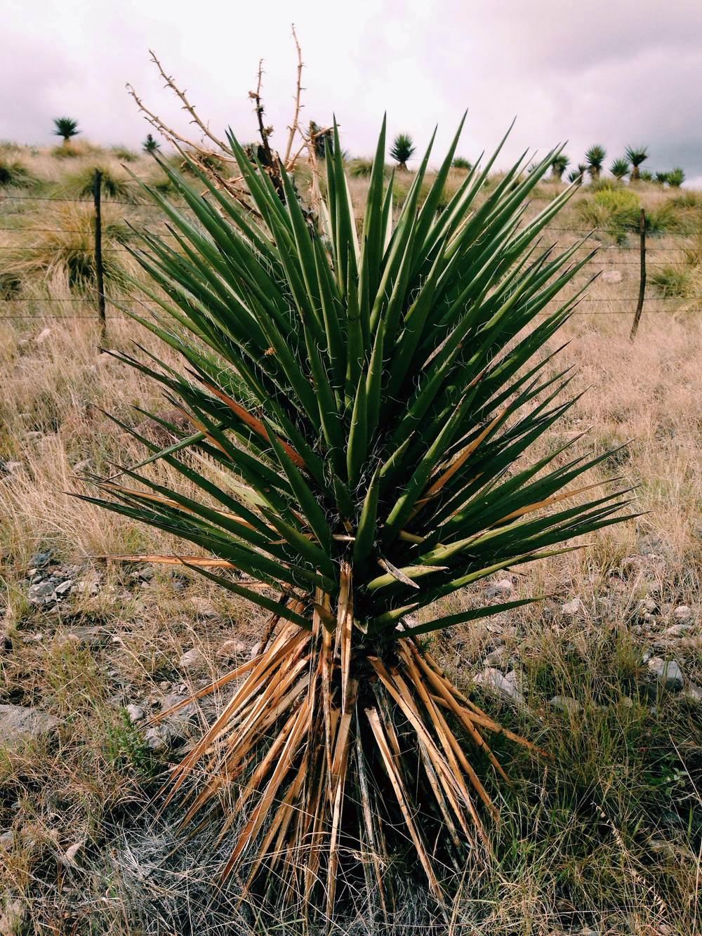 Plant: Yucca torreyi, Torrey's Yucca | Location:FM2810, Presidio Co., Texas, South of Marfa