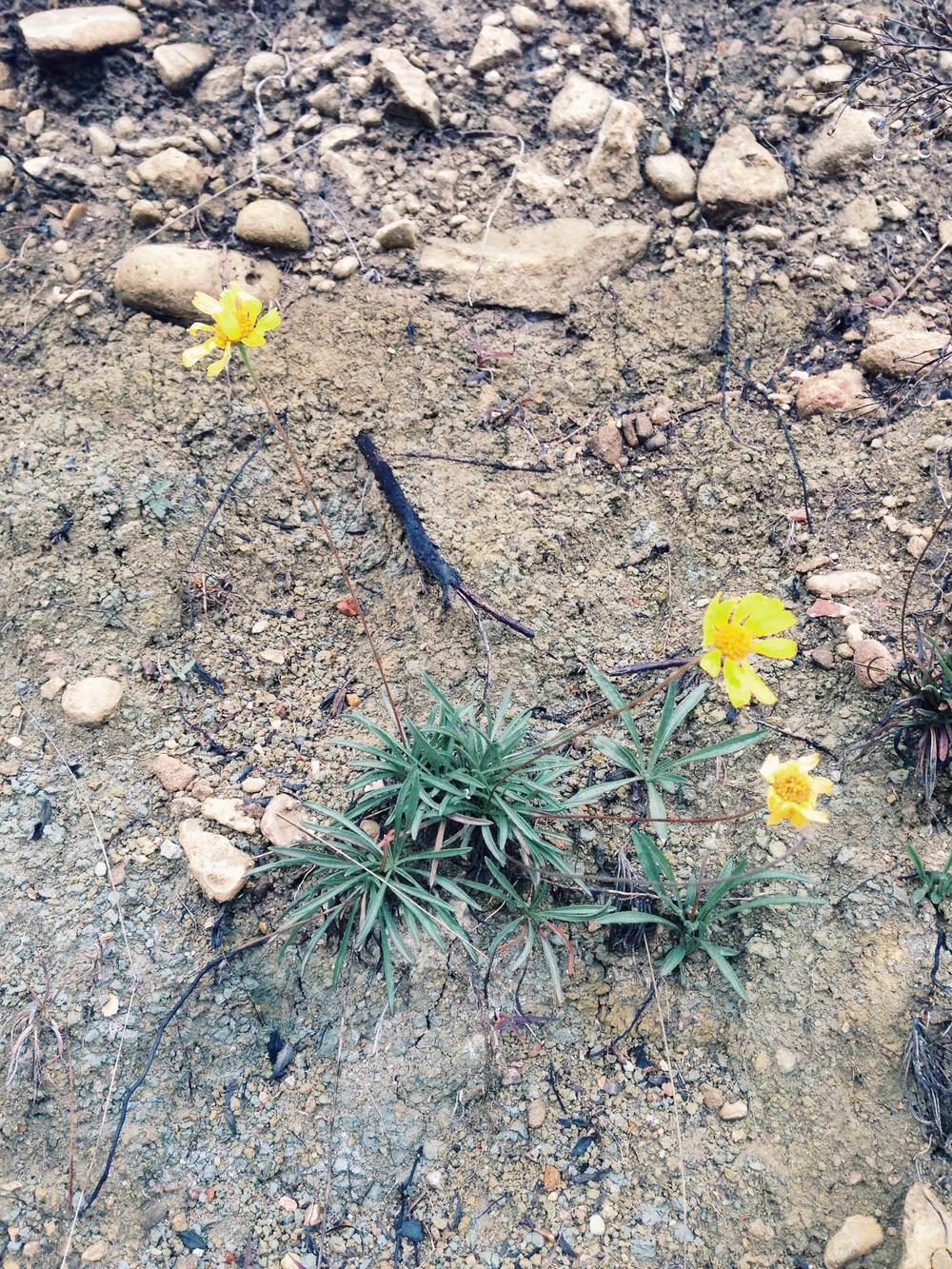 Plant: Tetraneuris scaposa, Four Nerve Daisy | Location: Double Eagle Ranch, Burnet Co., Texas