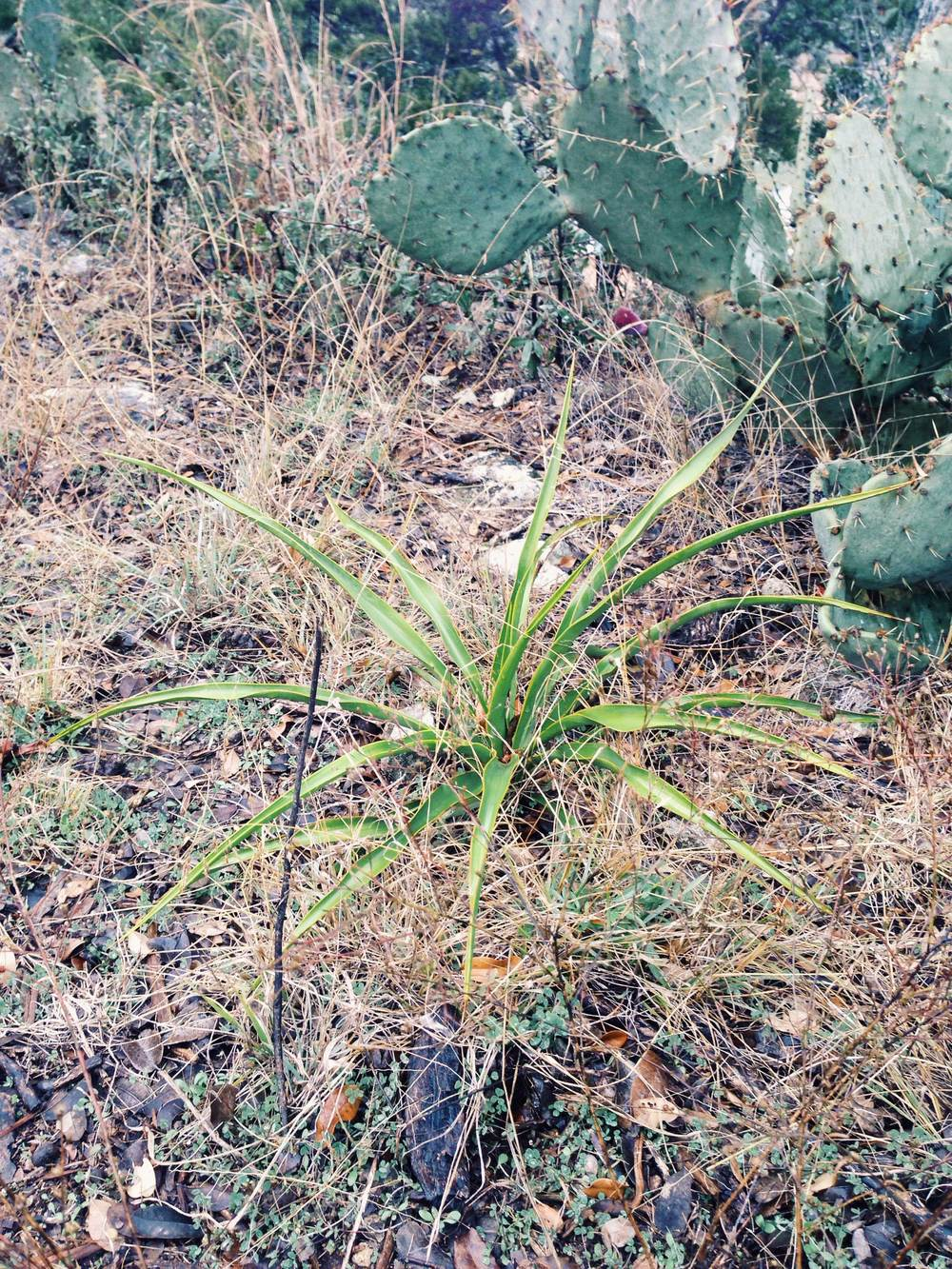 Plant: Yucca rupicola, Twistleaf Yucca | Locations: Double Eagle Ranch, Burnet Co., Texas