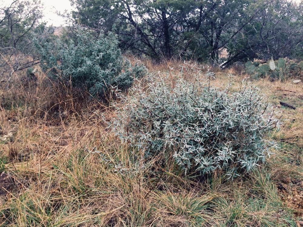 Plant: Mahonia trifoliolata, Agarita | Location: Double Eagle Ranch, Burnet Co., Texas