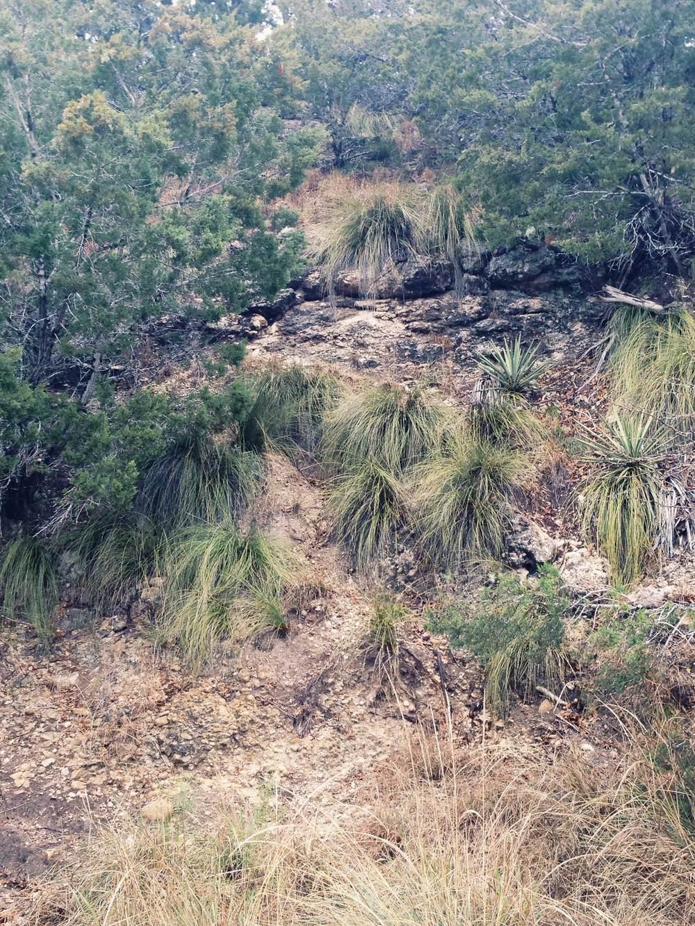 Plant: Nolina texana, Sacahuista | Location: Double Eagle Ranch, Burnet Co., Texas