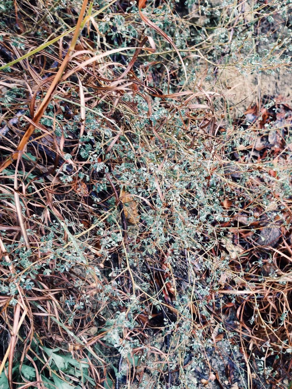 Plant: Dalea frutescens (?), Black Dalea | Location: Double Eagle Ranch, Burnet Co., Texas