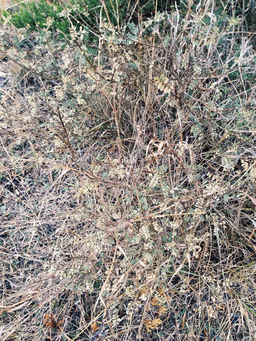Plant: Dalea sp. (?) | Location: Double Eagle Ranch, Burnet Co., Texas