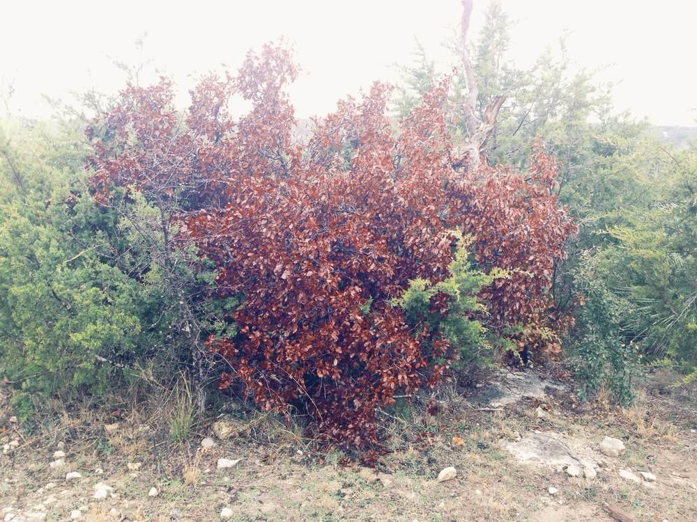 Plant: Quercus sp. (?) | Location: Double Eagle Ranch, Burnet Co., Texas
