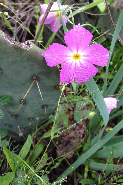 Phlox roemeriana, Goldeneye phlox