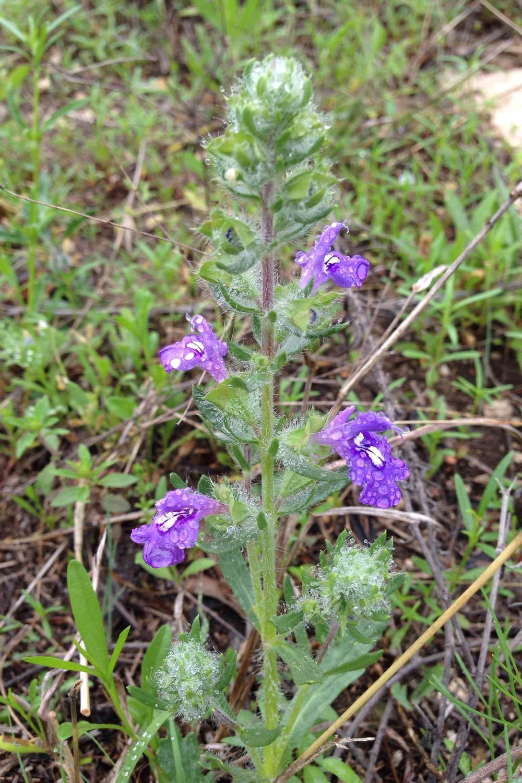 Salvia texana, Texas sage