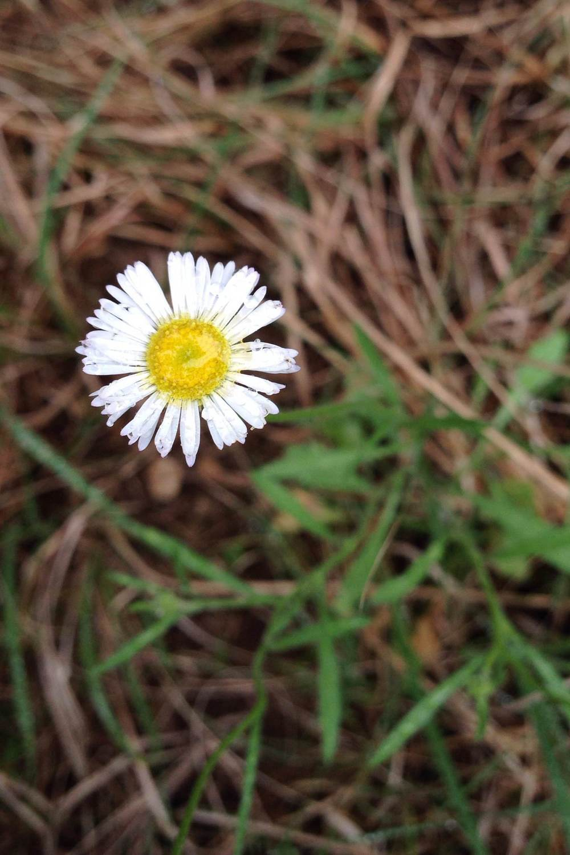 Erigeron modestus, Plains fleabane