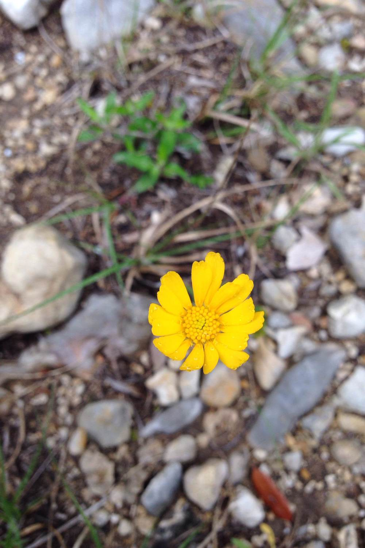Tetraneuris scaposa, Four nerve daisy