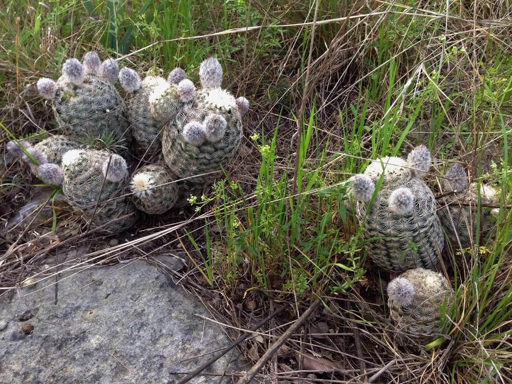 Echinocereus reichenbachii, Lace cactus