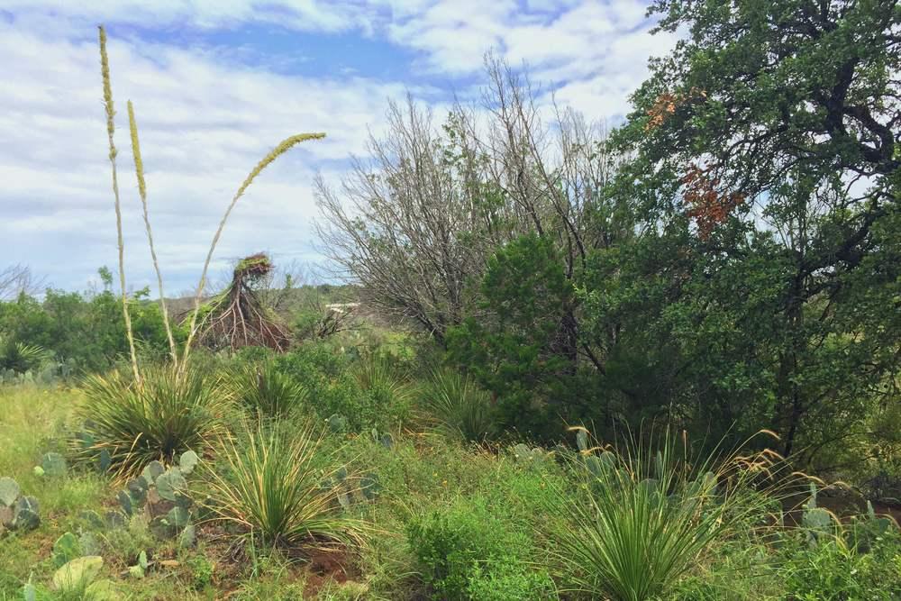 Blooming Dasylirion texanum, Texas Sotol