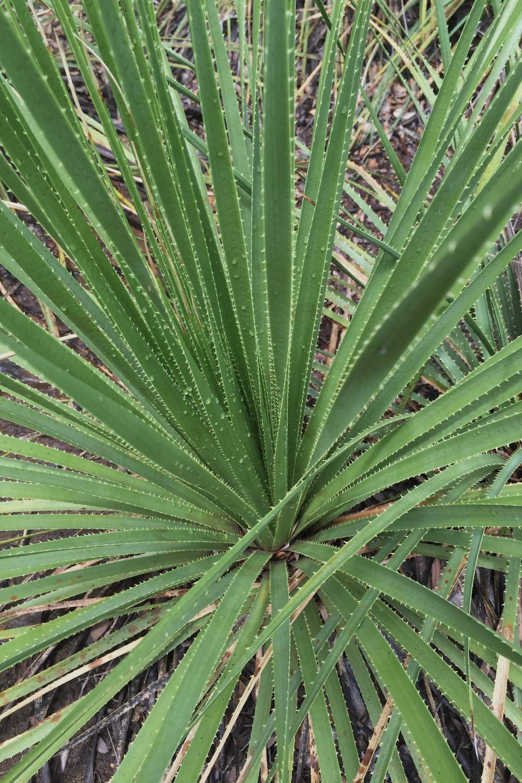 Serrated leaf edges of Dasylirion texanum, Texas Sotol