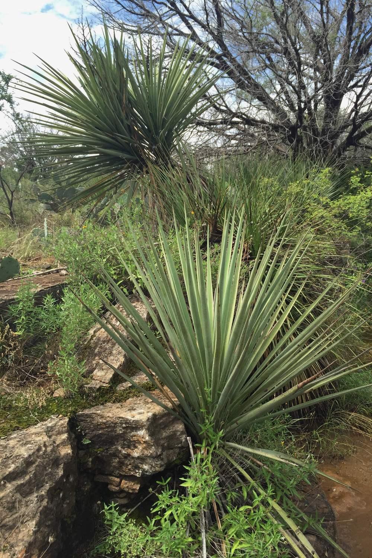 Yucca torreyi, Torrey's Yucca