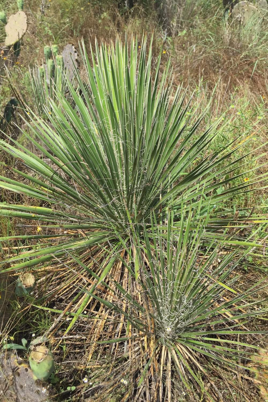 Yucca constricta, Buckley's Yucca