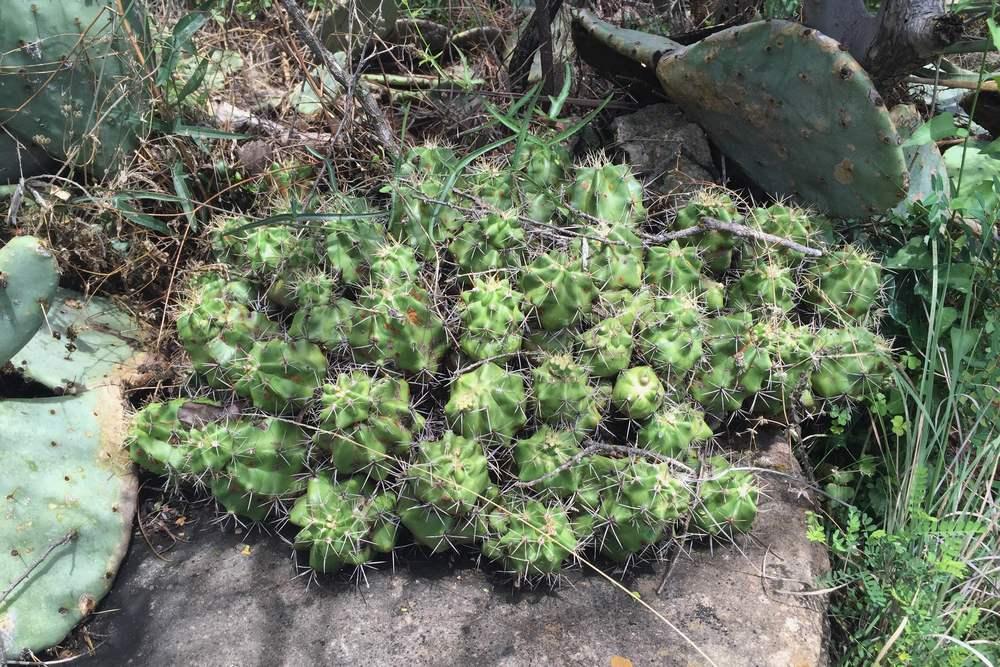 Echinocereus coccineus, Scarlet Hedgehog Cactus