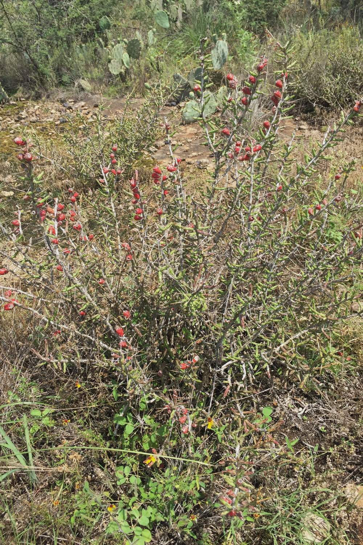 Cylindropuntia leptocaulis, Christmas Cactus
