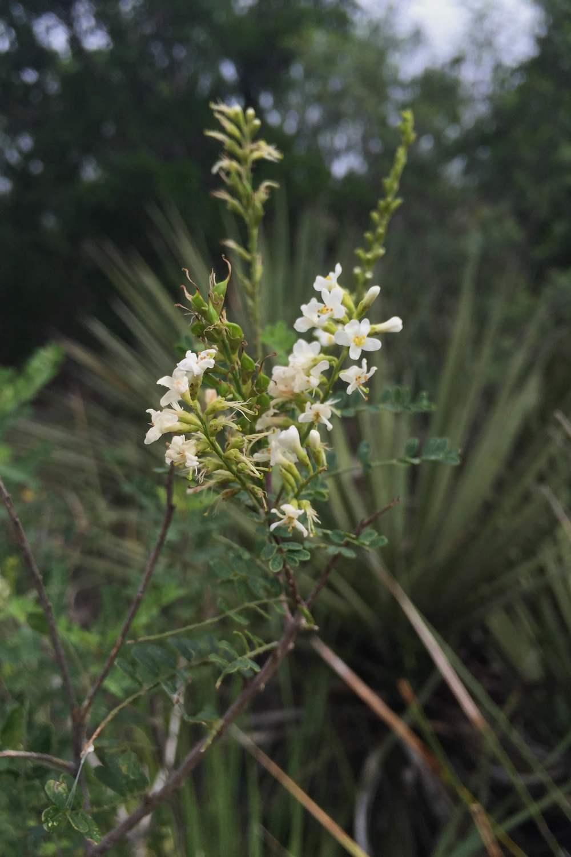Aloysia gratissima, Beebrush
