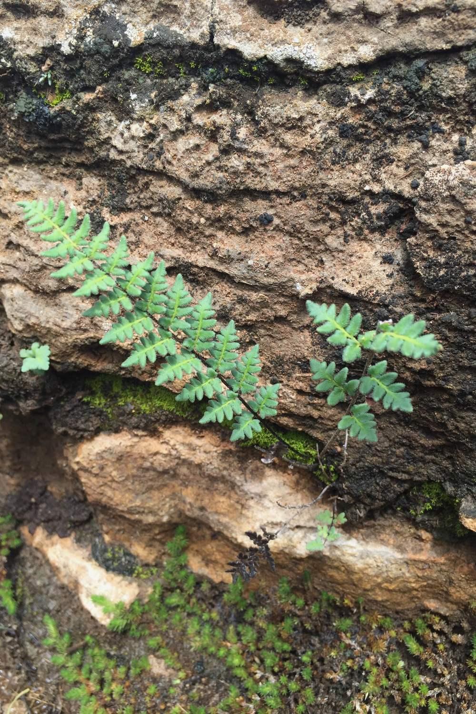 Cheilanthes alabamensis, Alabama Lip Fern