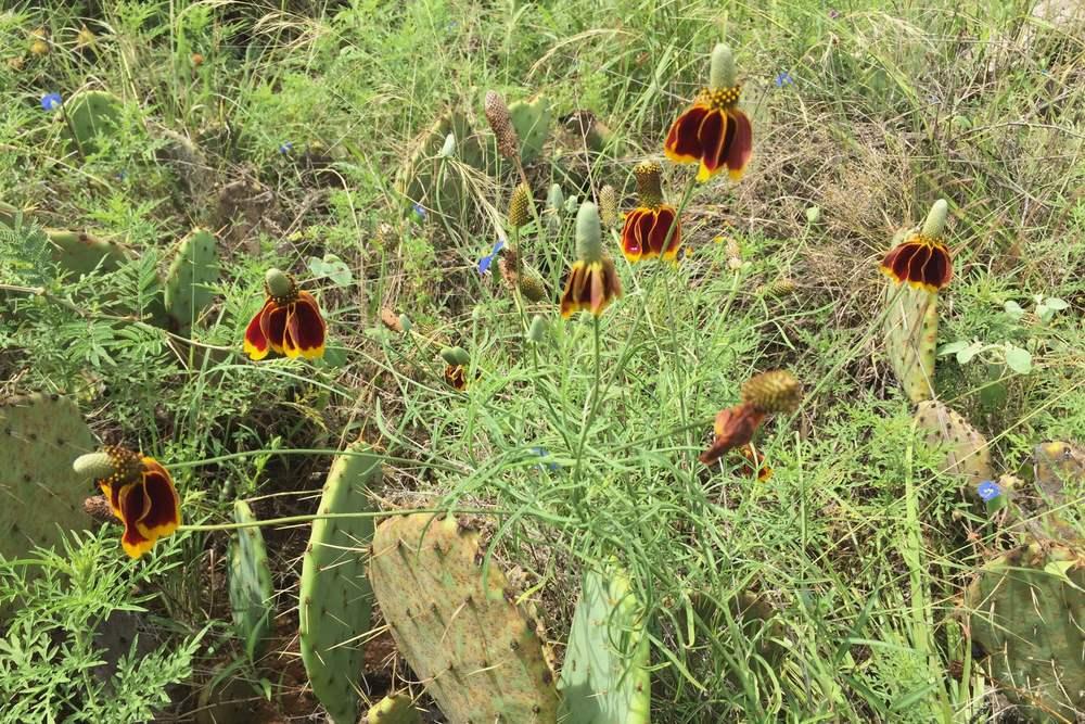 Ratibida columnaris, Mexican Hat