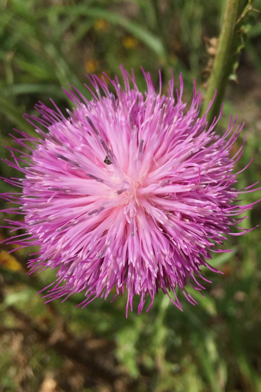 Centaurea americana, Basketflower