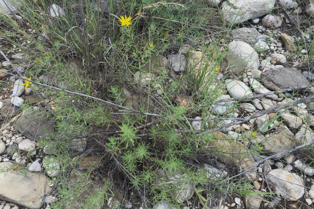 Heterotheca canescens, Golden Gray Aster