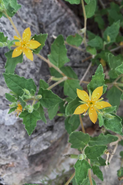 Mentzelia oligosperma, Stickleaf