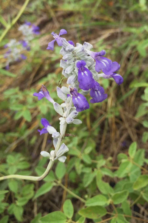 Salvia farinacea, Mealy Blue Sage