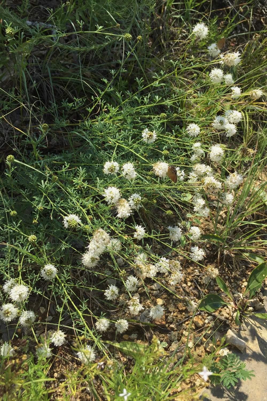 Dalea multiflora, White Prairie Clover