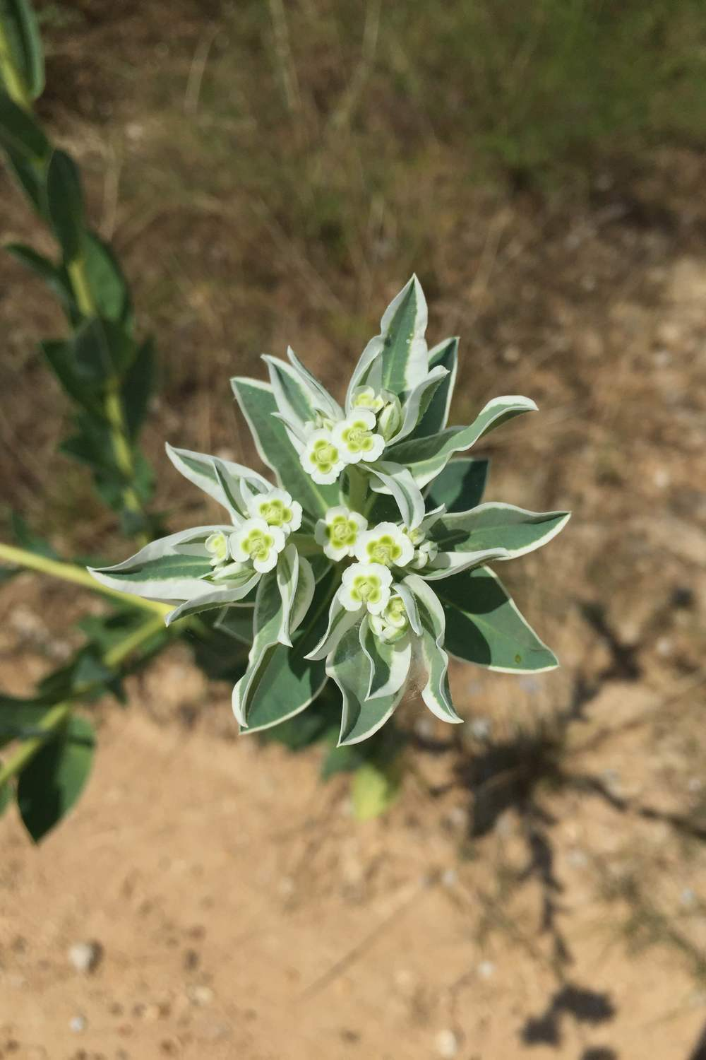Euphorbia marginata, Snow on the Mountain