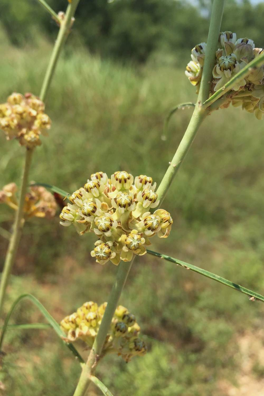 Asclepias engelmanniana, Engelmann's Milkweed