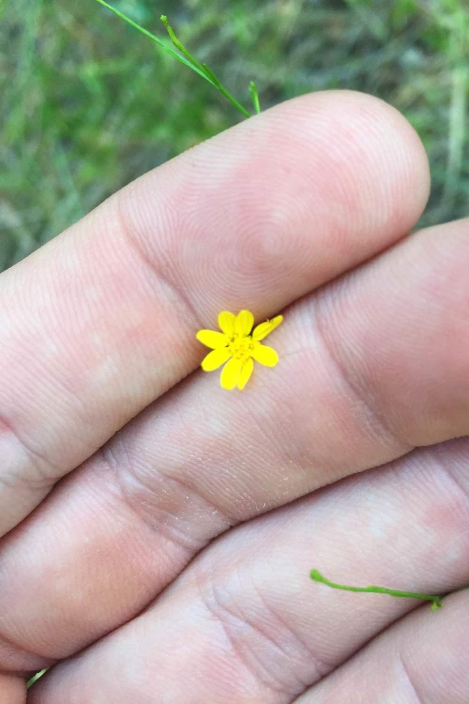 Amphiachyris dracunculoides, Prairie Broomweed