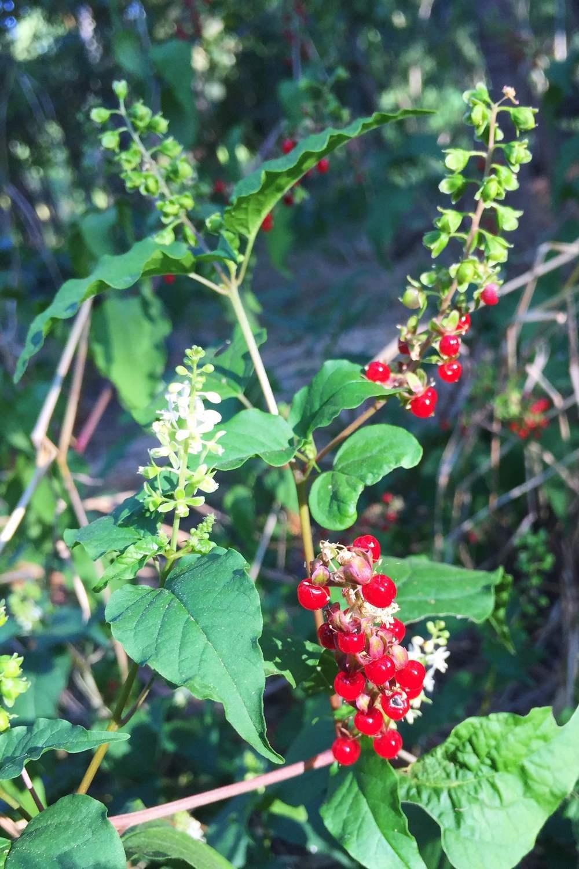 Rivina humilis, Pigeonberry