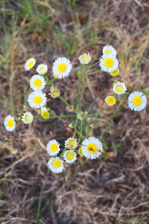 Erigeron strigosus, Prairie Fleabane