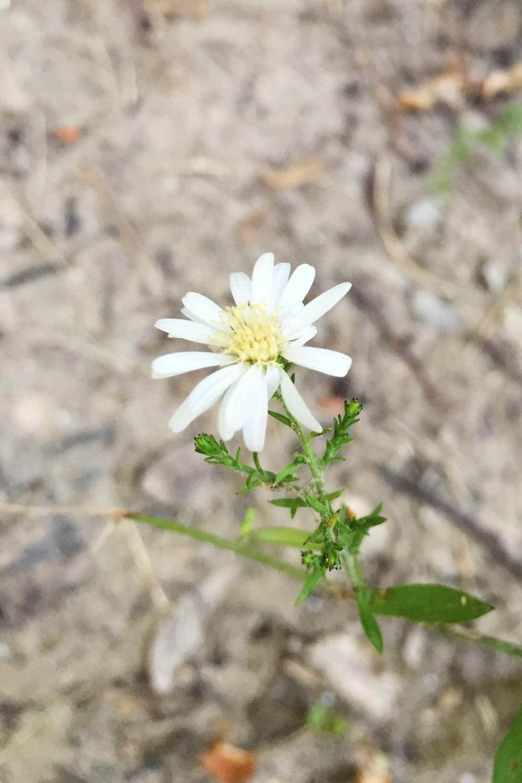 Symphyotrichum drummondii var. texanum, Texas Aster