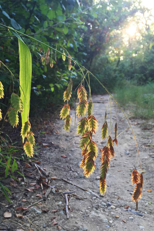 Chasmanthium latifolium, Inland Seaoats