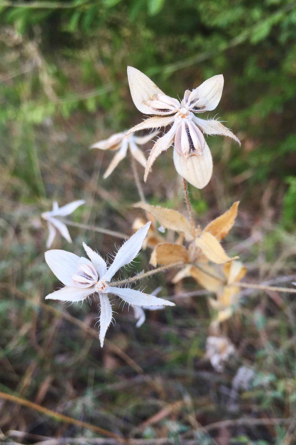 Lindheimera texana, Texas Yellowstar