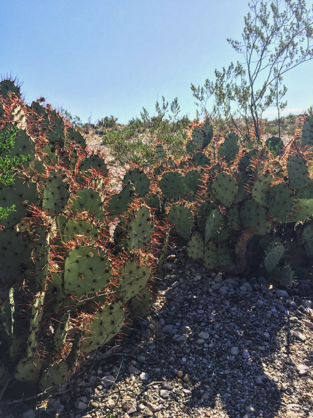 Opuntia spinosibacca