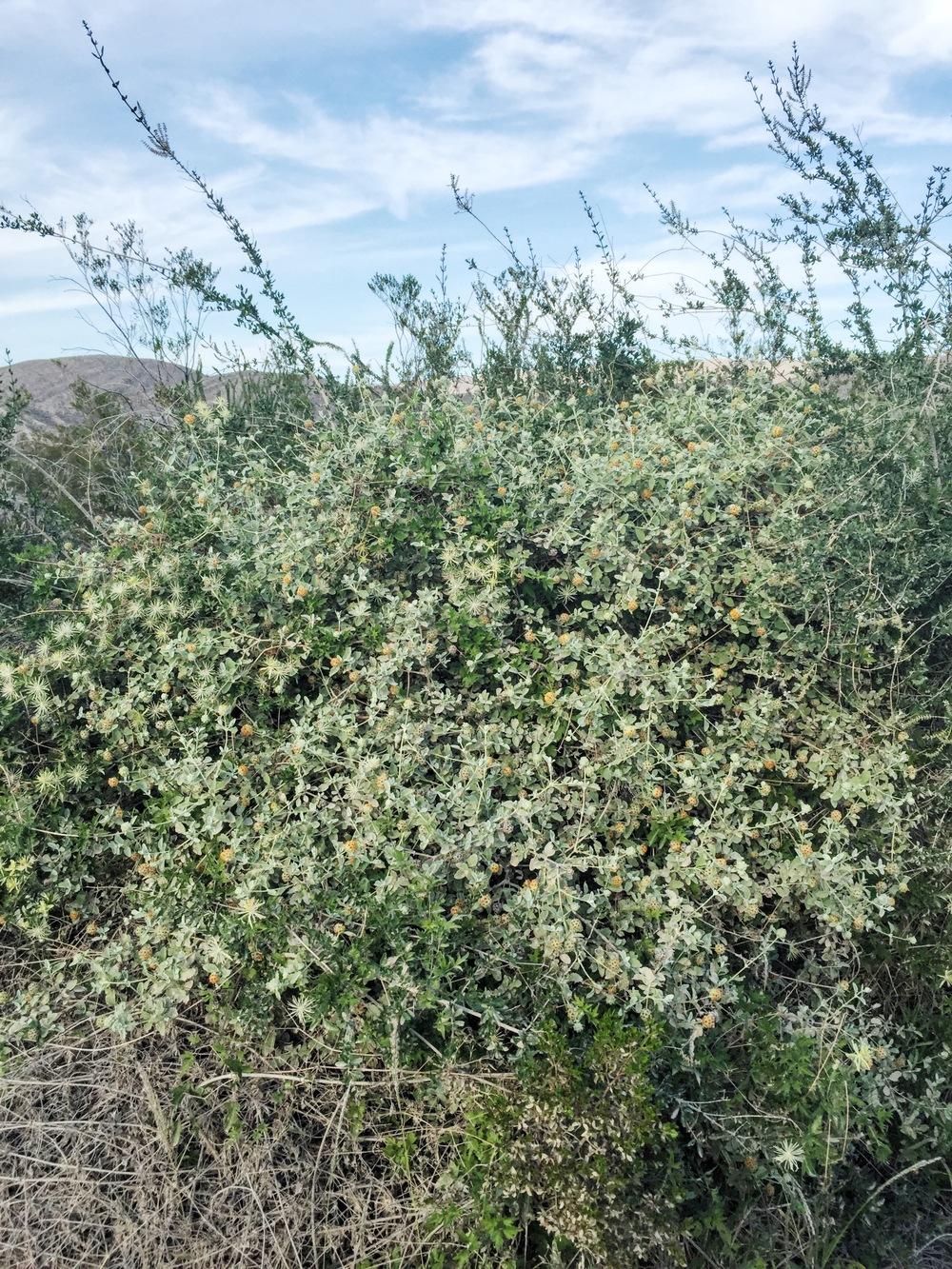 Buddleja marrubiifolia