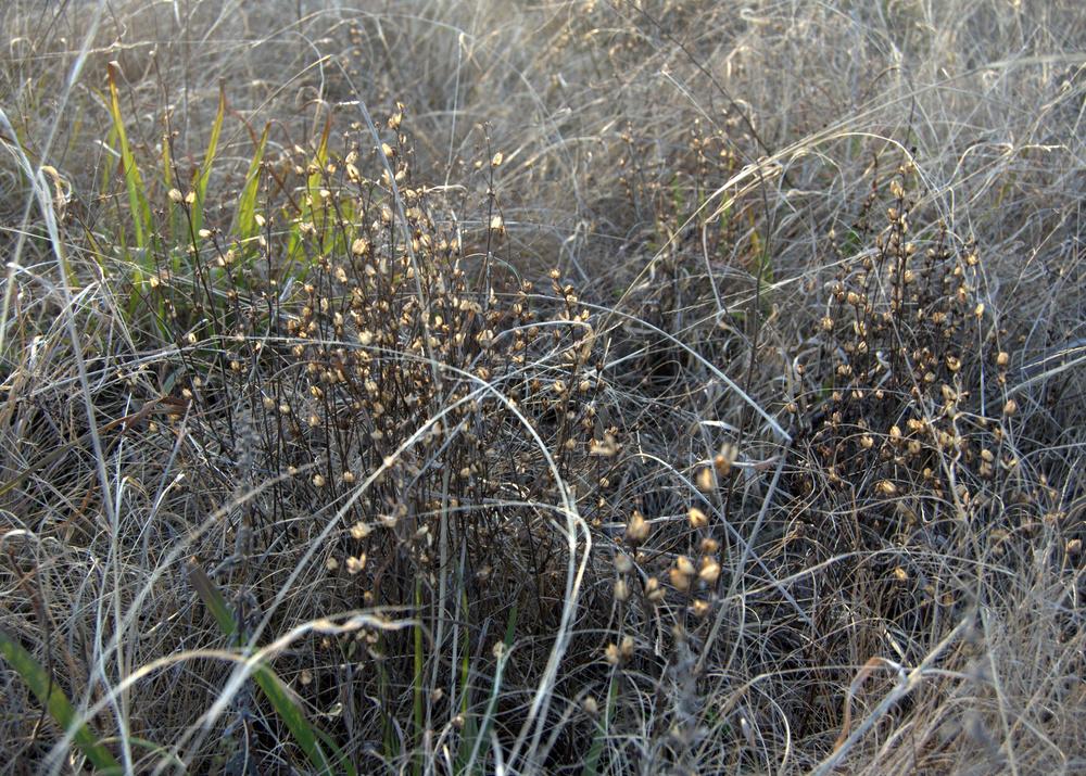 Agalinis heterophylla