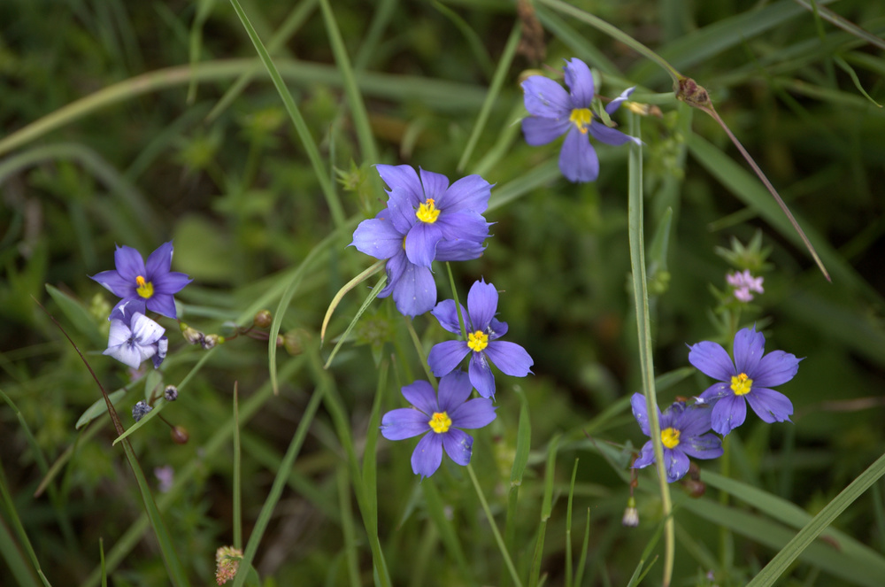 Sisyrinchium angustifolium, Blue Eyed Grass