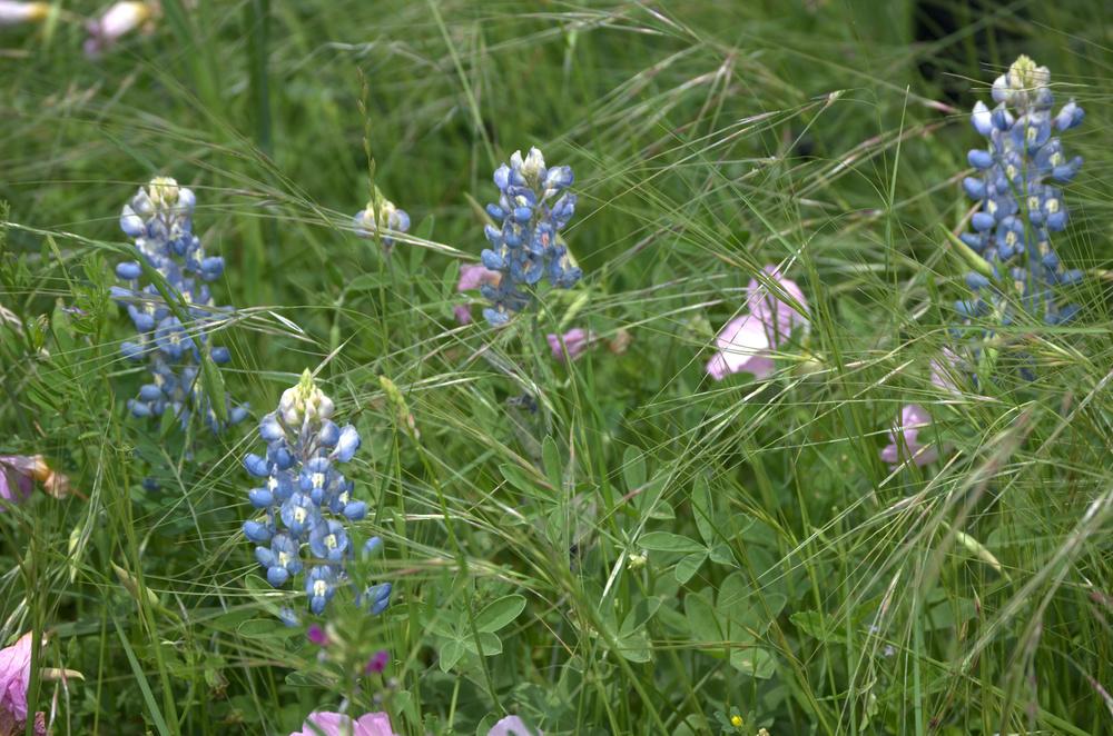 Lupinus texensis, Texas Bluebonnet