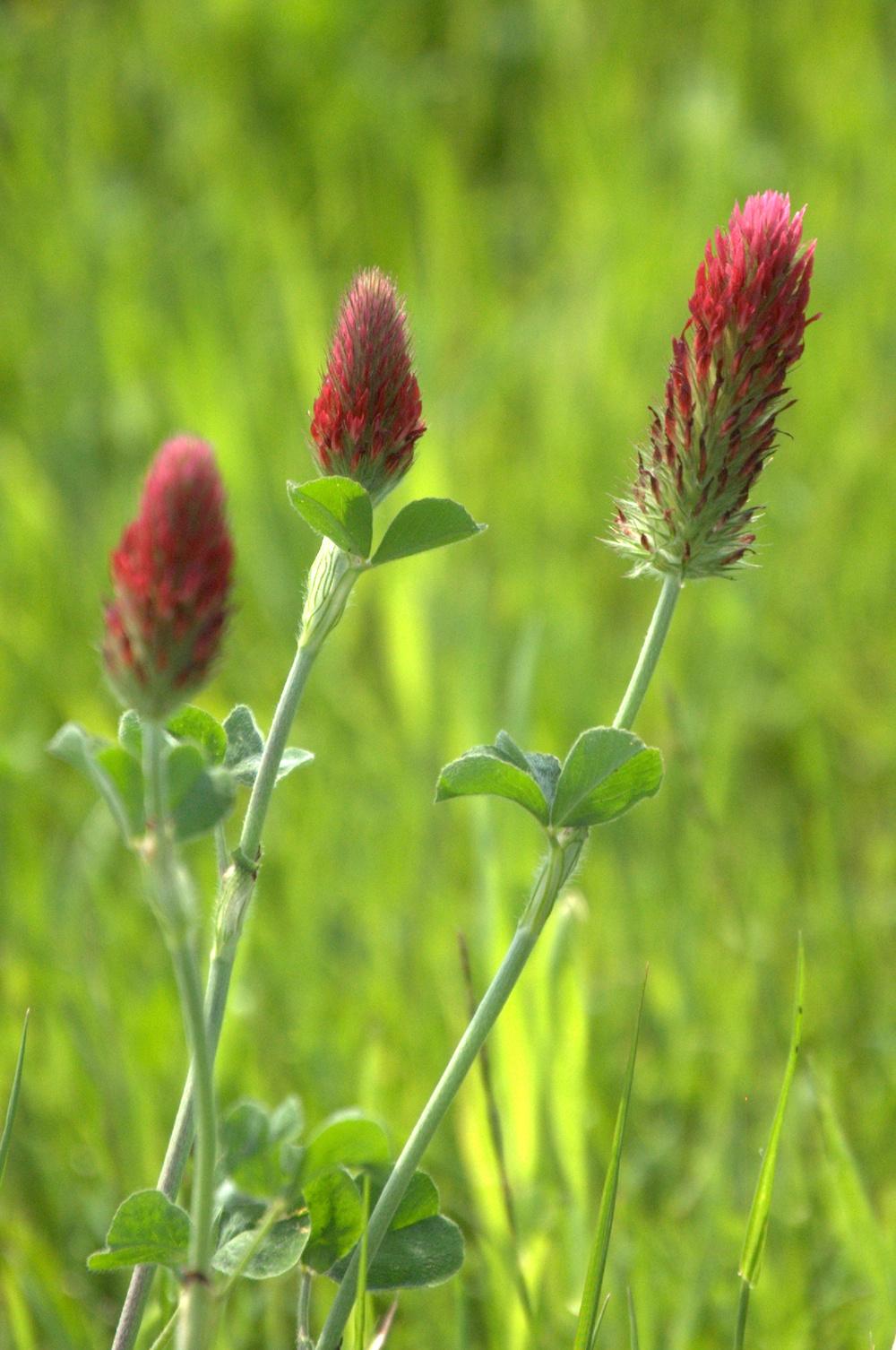 Trifolium incarnatum, Crimson Clover