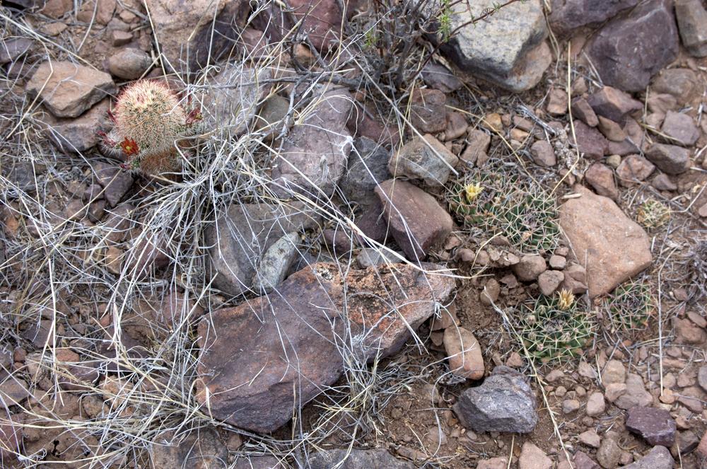 (L) Echinocereus viridiflorus var. russanthus, (R) Mammillaria meiacantha